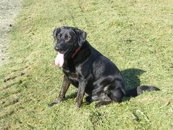 Stany, chien Labrador Retriever
