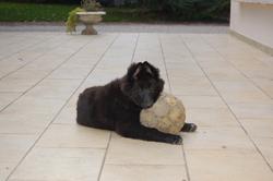 Baccara, chien Berger belge