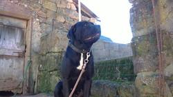 Eden, chien Cane Corso