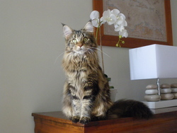 Hermione, chat Maine Coon