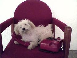 Titoune, chien Bichon maltais