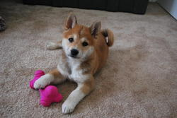 Sushi, chien Shiba Inu