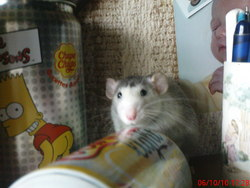 Sid, rongeur Rat