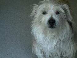 Athor, chien Griffon à poil dur Korthals