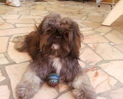 Diego, chien Shih Tzu