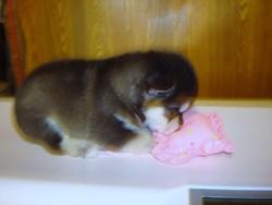 Nanuk, chien Malamute de l'Alaska