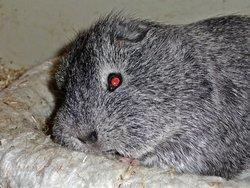 Decibelle, rongeur Cochon d'Inde