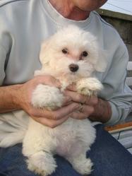 Fany Dite Tekila, chien Bichon maltais
