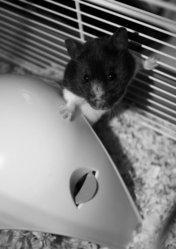 Perdita, rongeur Hamster