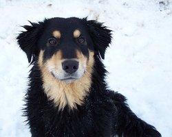 Hermione, chien Berger allemand