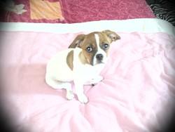Emy, chien Cavalier King Charles Spaniel
