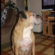 Harvey, chien