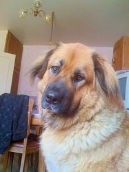 Rita, chien Leonberger
