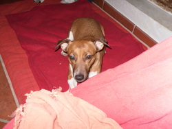 Croustil, chien Jack Russell Terrier