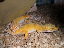 Geckos Léopard, autres