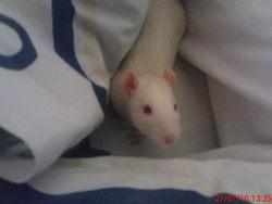 Taz, rongeur Rat