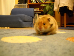 Lutti, rongeur Hamster