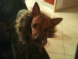 Piccolino, chien Pinscher