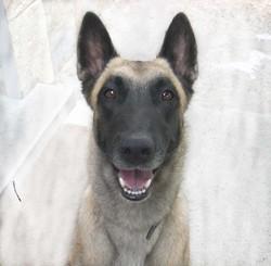 Vizirette, chien Berger belge