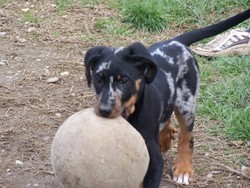 Djina, chien Beauceron