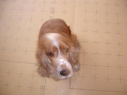 Arthur, chien Cocker anglais
