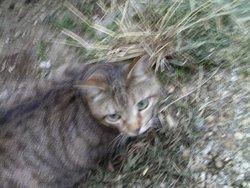 Tigrie, chat Européen