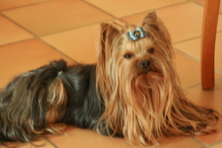 B'charlis, chien Yorkshire Terrier