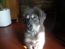 Flash, chien Dogue du Tibet