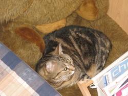 Guimauve, chat Gouttière
