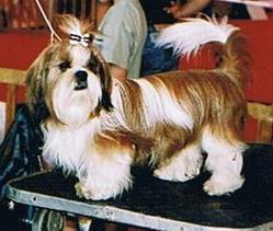 Samouraï, chien Shih Tzu