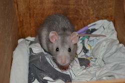 Eiko, rongeur Rat