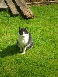 Minoss, chat Européen