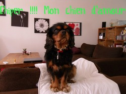 Chiper, chien Cavalier King Charles Spaniel