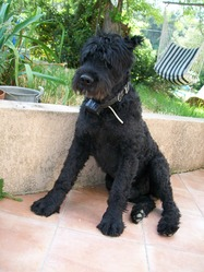Urko Du Val De Roquepertuse, chien Bouvier des Flandres