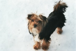 Paco, chien Yorkshire Terrier