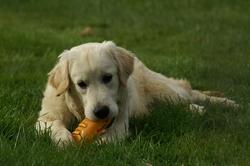 Bonnie, chien Golden Retriever