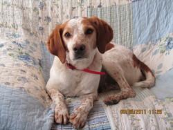 Roucky, chien Épagneul breton