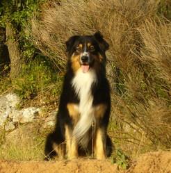 Alkan, chien Berger australien