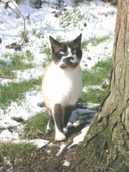 Tommy Lee, chat Snowshoe