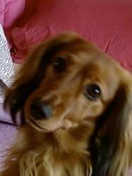 Uxane, chien Teckel