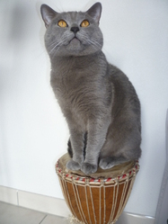 G-Star, chat Chartreux