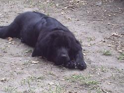 Garouck, chien Dogue du Tibet