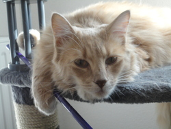 Flamel, chat Maine Coon