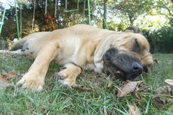 Ashla De Vautrecoeur, chien