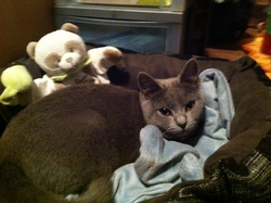 Faustine, chat Chartreux