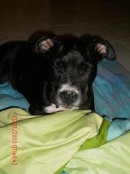 Eden, chien American Staffordshire Terrier