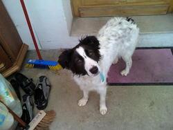 Darwin, chien Border Collie
