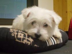 Emye, chien West Highland White Terrier