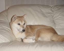 Apple, chien Shiba Inu