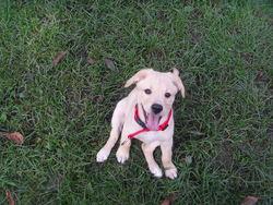 Spike, chien Labrador Retriever